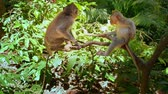 fascicularis : Playful and cheerful young monkeys play and jump on tree branch in green forest