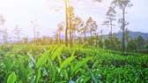 pasture : Tea plant farmland landscape. Green fresh and glossy leaves grow on hill side. Sri Lanka countryside video background Stock Footage