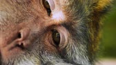 fascicularis : Close up of closing eyes of lazy monkey taking a nap