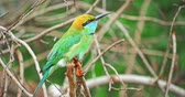 flora : Little Green Bee-eater exotic bird with vivid colorful plumage in wild nature of Yala national park in Sri Lanka. Fauna and flora of tropical forest reserve Stock Footage