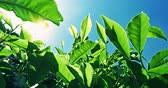 weather : POV video under tea leaves with bright sun light flickering through foliage. Fresh crops grow on green hills under warm sunshine in rural India. Vivid blue sky on background