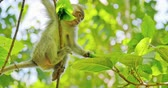 fascicularis : Cute asian monkey moves and climbs from branch to branch in green tropical forest of indonesian jungle natural reserve. Protected animals in wild habitat and environment