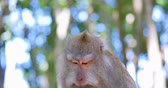 fascicularis : Cute monkey with funny face talks and communicates by making sounds. Wild macaque portrait in tropical jungle forest nature