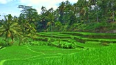 background : Terraced rice fields with fresh green crop in tropical nature of Bali island. Palm trees grow in hills in rural countryside of Indonesian village Stock Footage