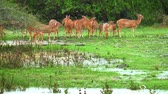 pasture : Family of wild deer graze on meadow near forest edge under rain fall. Yala national park, Sri Lanka Stock Footage