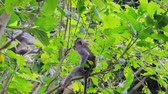 fascicularis : Group of wild monkeys on tree branches in green foliage of leaves in jungle forest Stock Footage