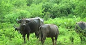 flora : Wild Water Buffaloes beasts in Udawalawe national park, Sri Lanka. Animals under rain fall of wet monsoon rainy season in tropical Asia. Beautiful wildlife nature landscape video background Stock Footage