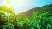 weather : Beautiful green hills plantation with young fresh tea leaves move by wind breeze. Cameron Highlands fields in Malaysia Stock Footage