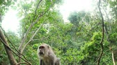 fascicularis : Balinese monkey outdoors in greenery of rainforest close up camera view