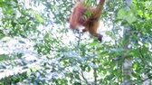 liána : Wild orangutan monkey moves through tropical forest, hanging on jungle lianas and branches and swinging while scrambling and making its way. Sumatra wildlife nature