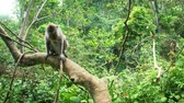 fascicularis : Macaca Fascicularis or Balinese Long-tailed Macaque monkey in lush of evergreen tropical rain forest in Indonesian jungle