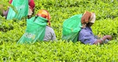 ceylon : Collecting tea in rural Sri Lankas highlands. Local women picking fresh green leaves