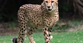 Намибия : Cheetah creeping toward camera slow motion vodeo. Big leopard portrait Стоковые видеозаписи