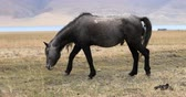 ladakh : Grey himalayan horse on Tso Moriri lake bank in ladakh, Jammu and Kashmir state, northern India Stock Footage