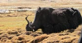 yak : Himalaya Yak scratches its head and horns on hummock while grazing in highland valley in rural Ladakh region Stock Footage