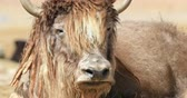 animais em estado selvagem : Himalayan Yak looks at camera close up portrait