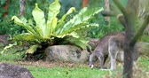 kanguru : Flora and fauna of Australian tropical forest. Grey Kangaroo with newborn baby in pouch eats grass in garden