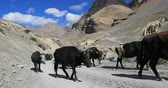 yack : Herd of black domestic yaks walk on rural road in high mountains of himalaya in Ladakh, India. Slow motion video of agriculture livestock in remote areas of Tibet