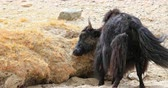 bull : Yak scratches itself in dirt and dry mud on hills of Himalaya mountains in Ladakh, India Stock Footage