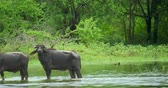 ceylon : Beautiful nature scene of wild Water Buffalo in natural habitat environment walks by lake near green forest in Yala national park, Sri Lanka. Protected fauna and flora natural landscape