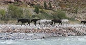 bystřina : Horses in Himalaya Ladakh region of northern India walk along mountain river