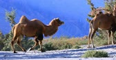 ladakh : Camels in wild nature of Hunder sand dunes desert in Ladakh, Himalaya, India
