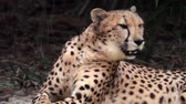 leopardo : Cheetah looks at camera and yawns showing big sharp fangs