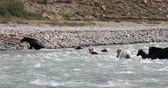 group of animal : Horses cross mountain river swimming in rapid water torrent in Ladakh, Himalaya Stock Footage