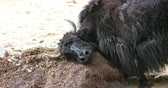 pastoreio : Beautiful wildlife scene of black himalayan yak scratching head and horns on hummock in remote Ladakh highlands Stock Footage
