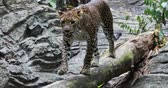 cheetah : Spotted Jaguar walks inside jungle forest on fallen tree trunk. Wild panther slow motion video Stock Footage
