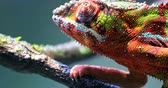 пантеры : Close up macro view of detailed skin texture of colorful chameleon lizard