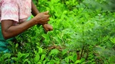 domorodý : Scene of harvesting tea with female farmer on rural field in Sri Lanka
