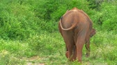 ceylon : Bottom view of elephats family moving away from camera in green bushes of Sri Lanka savannah forest. Mother with small baby calf in natural habitiat and wild environment