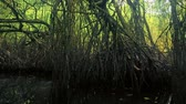 santuário : Tropical swamp and marsh environment. Dense mangrove trees grow in water in thick jungle forest Stock Footage