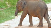 ceylon : Lovely small elephant baby walks on road swinging with tail and lifting trunk. Udawalawe national park slow motion video