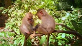 fascicularis : Monkey friends on tree branch in Ubud forest park. Traveling to Bali, Indonesia Stock Footage