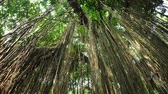 complex system : Amazing tropical ficus tree Banyan in wilderness of tropical jungle forest. Many hanging roots of exotic plant growing in Thailand rainforest Stock Footage