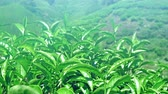 gomos : Fresh tea leaves at sunny summer day grow on outdoor plantation in rural countryside fields of Sri Lanka highlands Stock Footage
