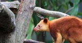 encantador : Goodfellow Tree-Kangaroo in canopy of rainforest in Papua New Guinea. Exotic animal of tropical forest