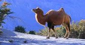 ladakh : Camel in desert of Ladakh, India. Nubra valley nature and wildlife animals