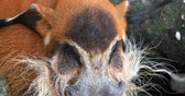 reddish : Red River Hog or Bush Pig close up eye and hairy snout view. Wild animals of Africa Stock Footage