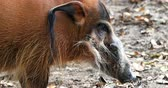 porco : Animale selvatico in natura. Red River Hog Potamochoerus porcus o Bush Pig in Africa Savanna Filmati Stock