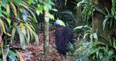 boynuzlu : Cassowary bird walks into lush jungle forest. Wild animals of rainforest in Australia