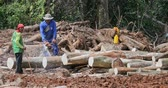 bornéu : Lumberjacks working and cutting tree logs with chainsaw. Rainforest destroy and environment damage by logging industry. Deforestation and devastation of wildlife