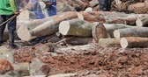 bornéu : Men with chainsaws cut big tree trunks on logging site. Industrial logging in Asia rainforests damages ecology and wildlife nature