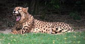 Сингапур : Slow motion video of yawning cheetah. Beautiful big cat displays fangs and teeth
