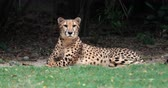 Намибия : Cheetah looks at camera with attention. 4K 60p video of spotted leopard