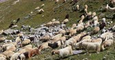 cestování : Himalayan high altitude farming. Domestic sheep and pashmina goats on slopes of high mountains in Ladakh, India