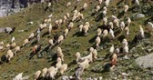pastoreio : Ladakh countryside - large herd of domestic animals, goats and sheep grazing on summer alpine pasture in Himalaya