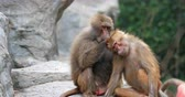 отношения : Two monkeys clean each other in wild of Kenya national park